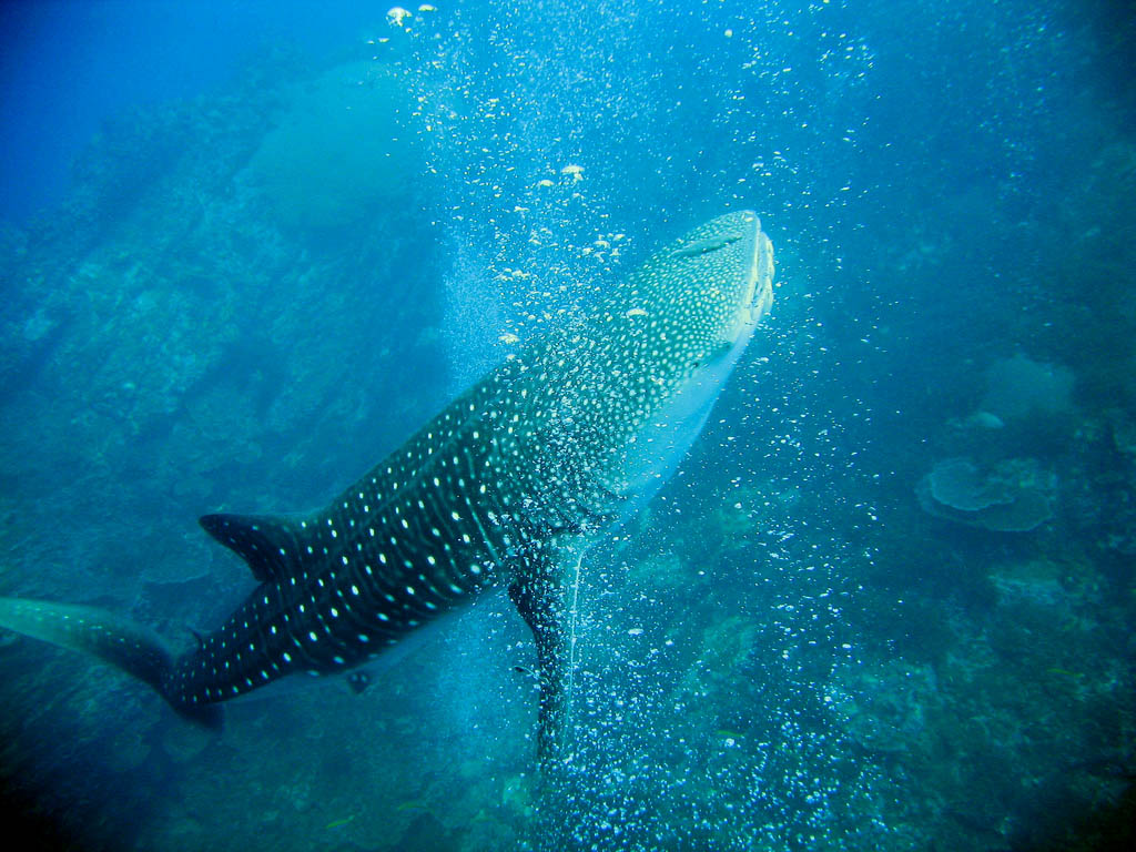 whale shark5 Whale Shark The Worlds Biggest Fish