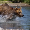 Bear Fishing Near Kurilskoye Lake in Kamchatka