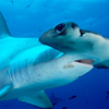 Hammerhead Shark – Predator of the Seas