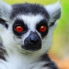 The Most Recognized Lemur Catta