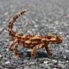 Thorny Devil Lizard Looks Scary