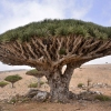 Dragons Blood Tree at Socotra Island, Yemen
