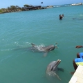 Swimming with Dolphins in Jamaic...