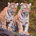 Adorable Siberian Tiger Cubs