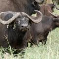 Cape Buffalo – Half a Ton ...