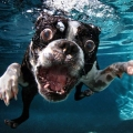 Cute Dogs Underwater by Seth Cas...