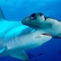 Hammerhead Shark – Predato...