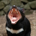The Tasmanian Devil – Nigh...