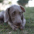 Weimaraner – The Right Dog...