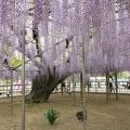 Amazing Ashikaga Flower Park, Ja...