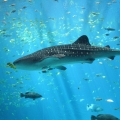 Whale Shark The Worlds Biggest F...