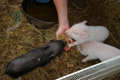 micro pig 04 500x332 Micro Mini Pigs Pets